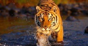 Ranthambore tigers_0